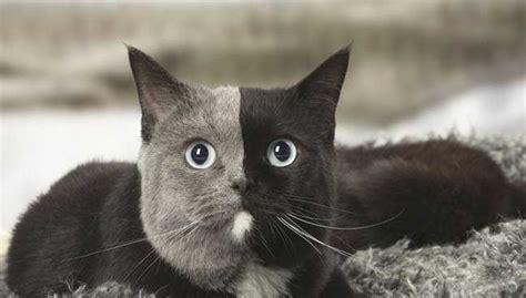 Sho Kucing Di Malaysia kucing chimera punyai 2 warna selari di muka free