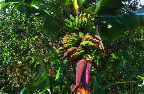 banana tree wallpaper download banana tree wallpaper 22723 open walls