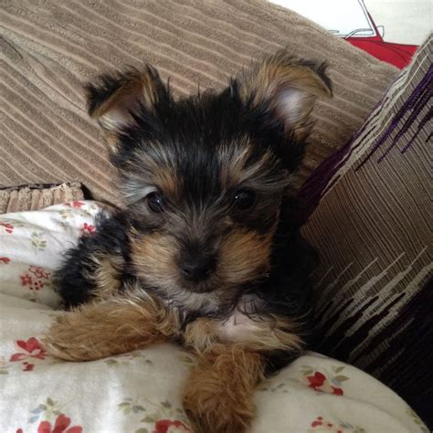 yorkie doodle puppies for sale uk yorkie poo puppies for sale uk teacup picture breeds