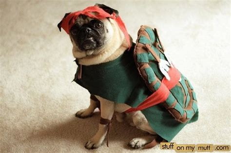 pug turtle turtle pug pugs just for beed pictures of dogs pictures of and pug