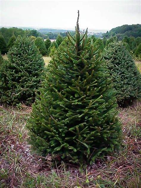 norwegian spruce christmas tree