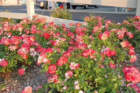flower carpet coral rose rosa flower carpet coral