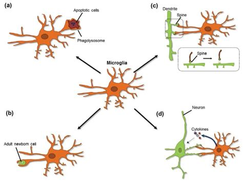 diagram of a brain cell image gallery microglia