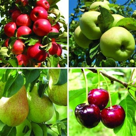 mini orchard fruit trees 73 best images about mini fruit trees on fruit