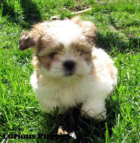 maltese shih tzu mix puppies for sale 1000 ideas about shih tzu maltese mix on