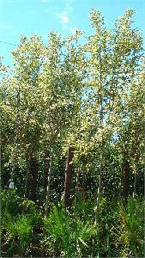 ligustrum japonicum variegated trees  full standard shape