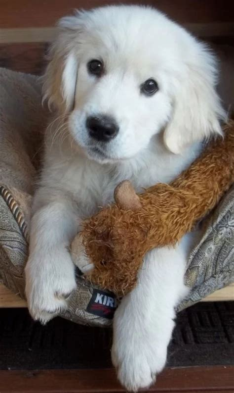 chion golden retriever puppies 25 best ideas about chien de taille on photo trop mignonne photo