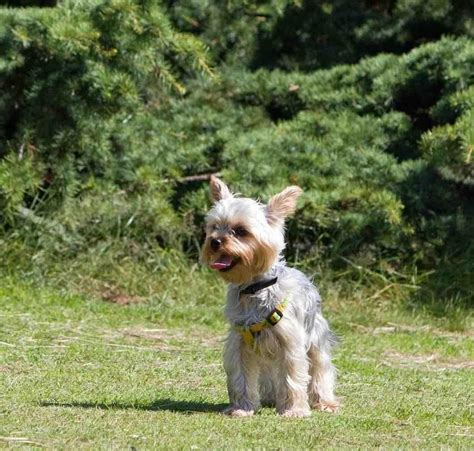 yorkie background yorkie wallpapers android apps on play