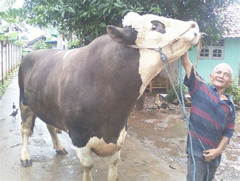 Jual Bibit Sapi Simental sapi qurban simental 1 ton safari ternak jual hewan qurban sapi kurban jakarta 2014