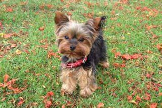 how much to feed a yorkie per day all about yorkie food terrier information center