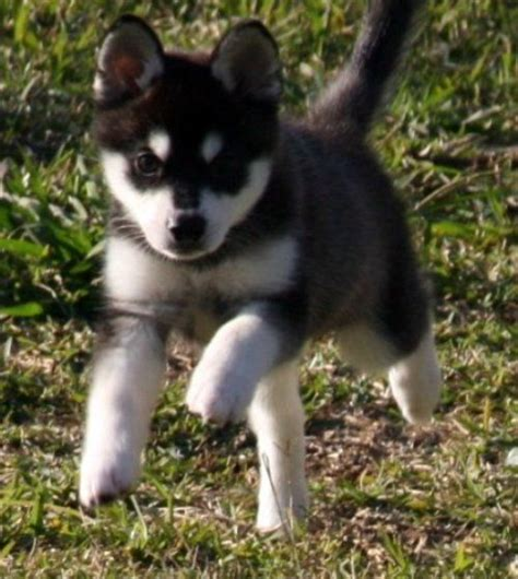 miniature husky puppies for sale 25 best ideas about mini huskies on mini siberian husky pomeranian husky