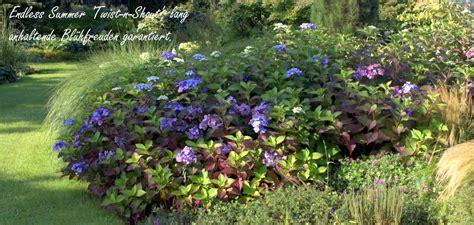 wann dã ngen hortensien pflanzen zeitpunkt hortensien pflanzen