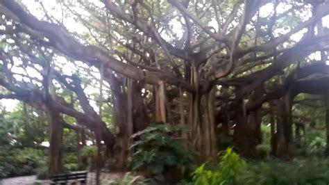 banyan tree bank banyan tree legoland florida