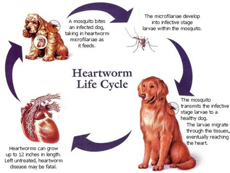 how can a live with heartworms klo veterinary clinic heartworm