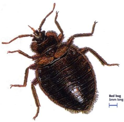 how big can bed bugs get bedbugs