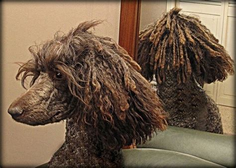 how to do a bob marley poodle cut on a dog 96 best images about poodles corded on pinterest