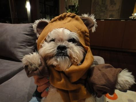 shih tzu ewok haircuts shih tzu ewok haircuts 29 best images about oh shih tzu on