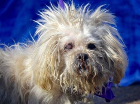 havanese rescue nyc help andy senior havanese in nyc nonprofits youcaring