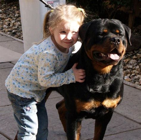 rottweiler breeders in northern california rottweiler puppies haustier rottweilers california breeders haustiiers rottweilers