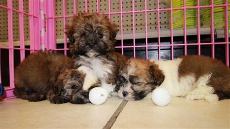 teacup havanese puppies for sale in illinois maltese breeders in breeds picture