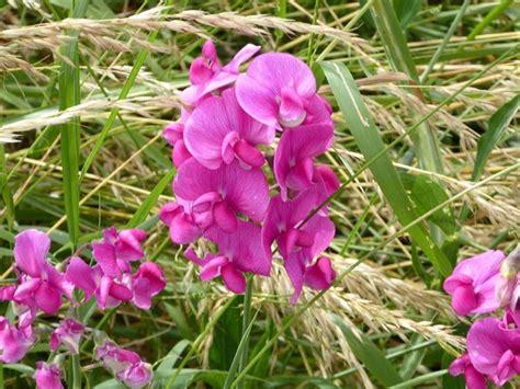 pisello odoroso fiore pisello odoroso ricanti cicerchia odorosa