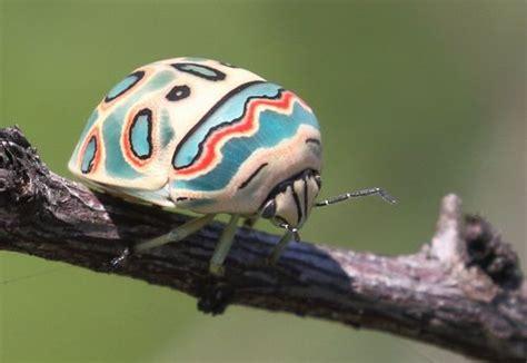picasso bug sphaerocoris annulus inaturalist