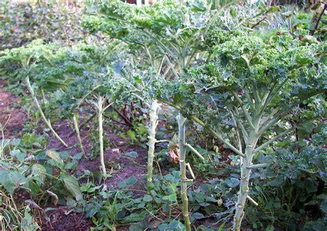 grünkohl wann ernten kohlgem 252 se anbauen