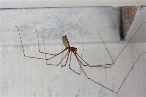 common basement spiders longlegs mountain plover