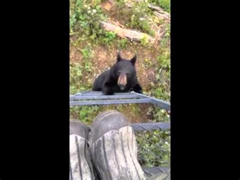 bear climbing  tree stand blue walleye outpost youtube