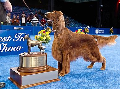 irish setter dog show irish setter clooney wins the national dog show dogs