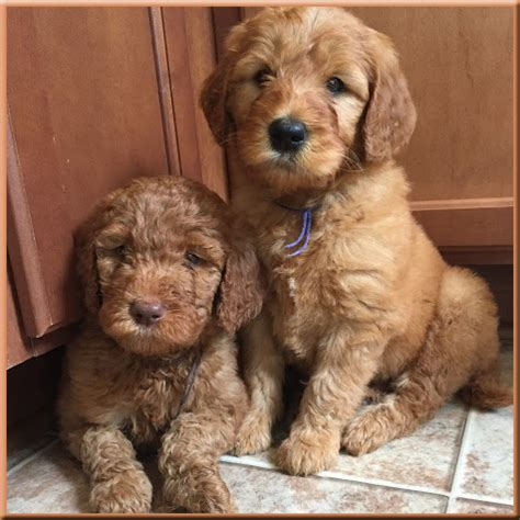 goldendoodle puppy biting standard goldendoodle puppies www pixshark images