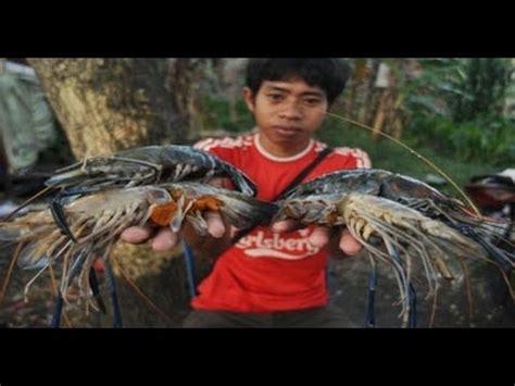 Bibit Ikan Gurame Boyolali tutorial cara ternak budidaya lele