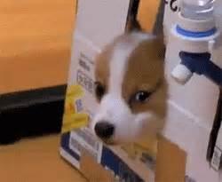 corgi puppy gif gif gifs puppy cuties corgi puppies gif set corgis hijikata