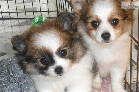 tiny pomeranian for sale in illinois pomeranian puppy for sale near chicago illinois a5ac1f76 2bc1