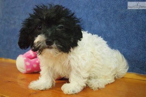 havanese puppies for sale in wi maxie havanese puppy for sale near appleton oshkosh fdl wisconsin 88a20b91 23b1