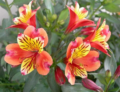 lilies or lillies how to grow and care for a peruvian lily world of