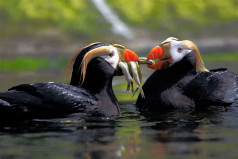 a tufted puffin pair share fish they collected from the