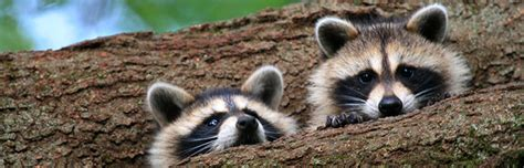 what to do if a raccoon is in your backyard raccoons