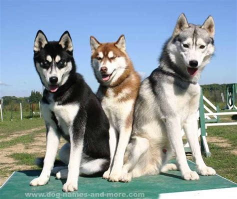 husky puppy names siberian husky names for your