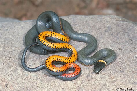 black snake with orange ring around neck ring necked snakes found in california facts pod