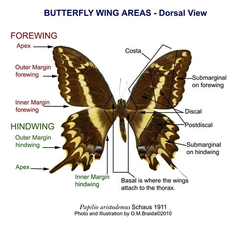 Antem Kupu prop cool diagram of a butterfly for joseph s lab
