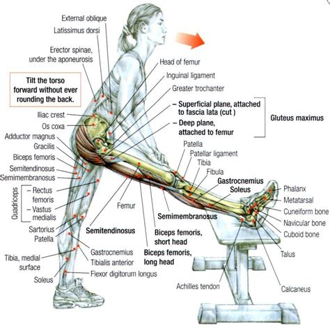 hamstring muscles diagram image gallery hamstring muscles exercises
