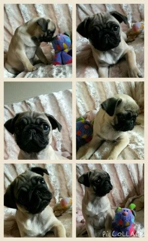 pug rehoming uk pug puppy for rehoming huddersfield west pets4homes