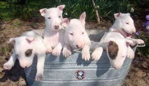 bull terrier puppies nc bull terrier puppies bullies of nc