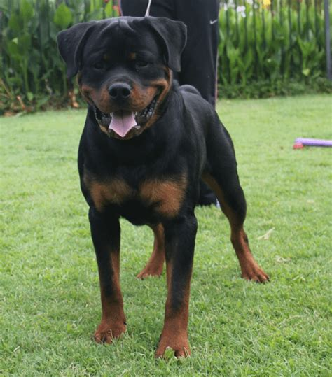 rottweiler breeders in california rottweiler breeders in california
