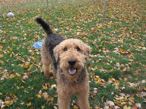 airedale cut 1000 images about airedale terrier or red standard poodle