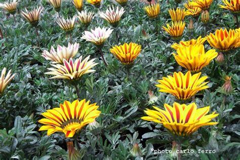 fiori simili alle margherite gazania piante erbacee asteraceae