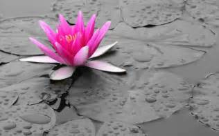 Color Lotus Lotus Drawing Color Wallpaper