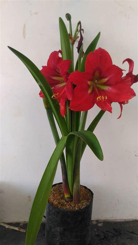 jual tanaman amarilis merah  bunga bakung  lapak