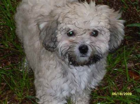 havanese bichon mix pin havanese bichon mix on